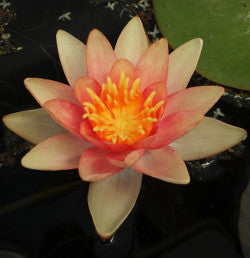 Assorted Changeable Water Lily