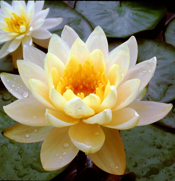Inner Light Hardy Water Lily Pond Plants Online