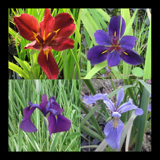Hardy iris collection pond plants online for Perennial pond plants