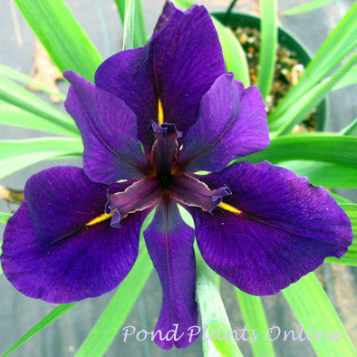 Iris 'Full Eclipse' Louisiana Bog Iris