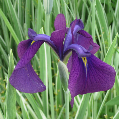 Japanese Variegated<br>Iris kaempferi variegata | Available Spring 2021