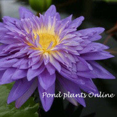 King of Siam | Tropical Water Lily | AVAILABLE APRIL 2021<BR>PRE-ORDER