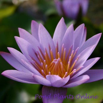 Key Largo | Tropical Water Lily