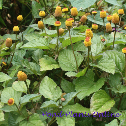 Lemon Drops | Spilanthes oleracea 'Lemon Drops'