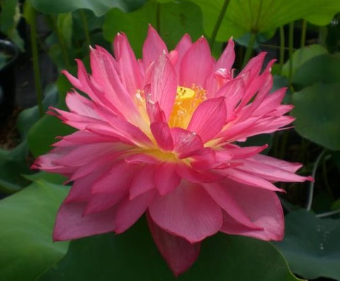 Long-Petal Peach-Red Hardy Lotus