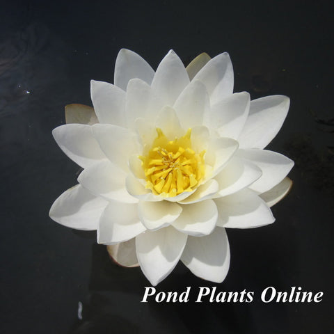 Marliac Albida | White Hardy WaterLily | Available Spring 2021