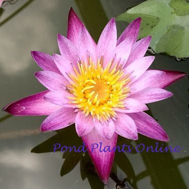 Maroon and Pink Water Lily | NEW