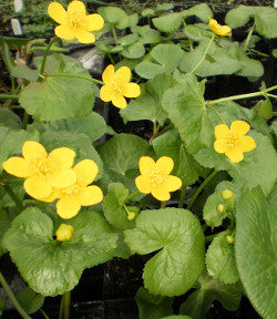 Marsh Marigold | Caltha palustris
