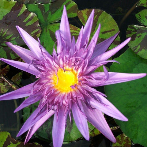 Midnight Serenade | Tropical Water Lily