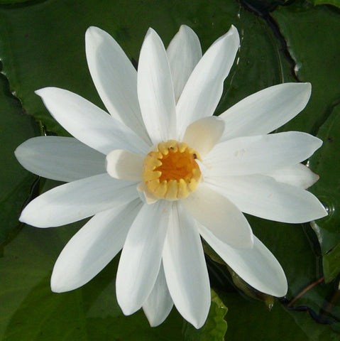 Missouri White Night Blooming Water Lily