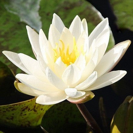 Moondance | White Hardy WaterLily