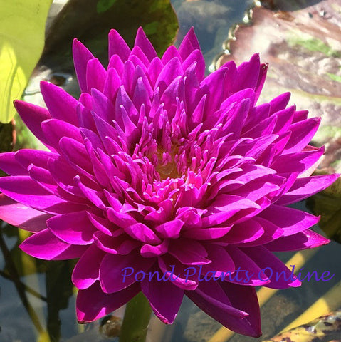 Morada Bay Tropical Water Lily