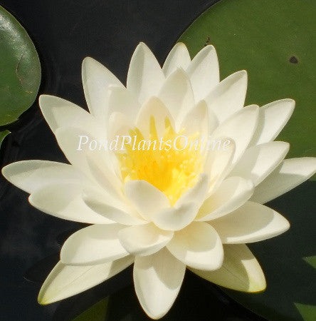 Odorata | White WaterLily