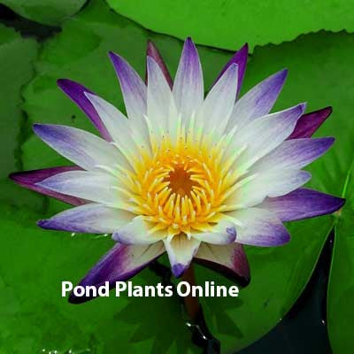 Purple Joy  Tropical Water Lily