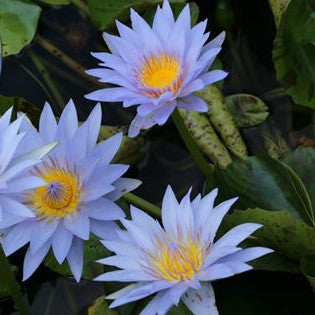 Pamela Blue Tropical Water Lily