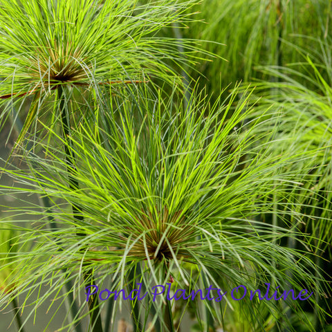 Cyperus papyrus 'Nile Queen' | Available Spring 2021