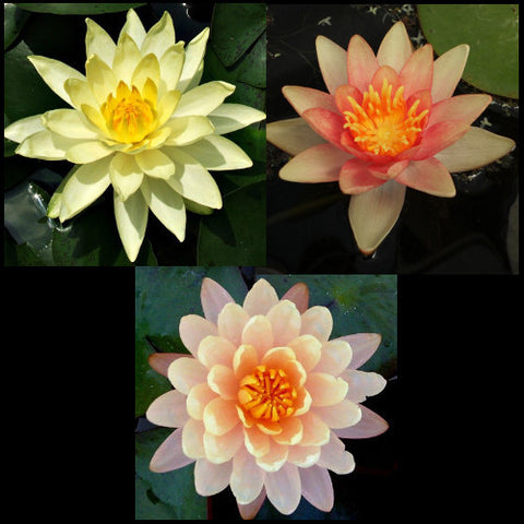 Water Lily Package Peach, Changeable & Yellow