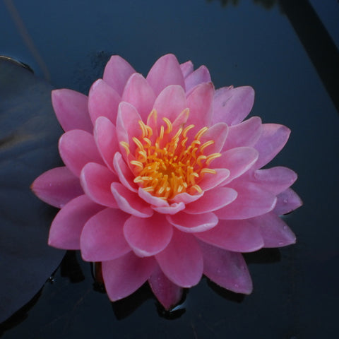 Perry's Fire Opal | Pink Hardy WaterLily