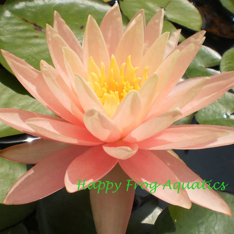 Pink Grapefruit Water Lily