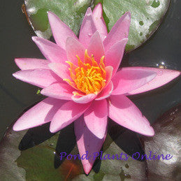 Pink Sensation | Hardy Pink Waterlily