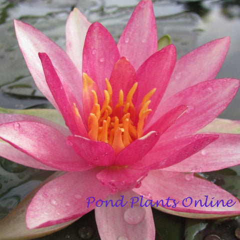 Pink Sparkle | Hardy WaterLily