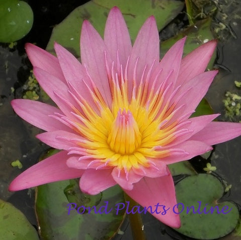 Pink Tropical Water Lily | Grower's Choice | AVAILABLE APRIL 2021<BR>PRE-ORDER