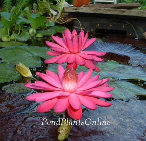 Red Flare Night Blooming Water Lily