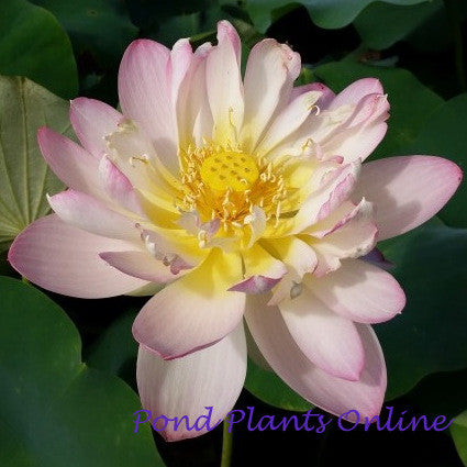 Rosey Cloud Lotus