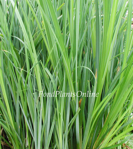 "Blue Gray Sedge | Carex. spp. | 3.5"" Pot"