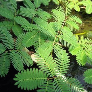Sensitive Plant | Neptunia aquatica | Bare Root