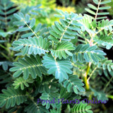 Large Leaf Giant Sensitive Fern  | Aeschynomene fluitans | Bare Root