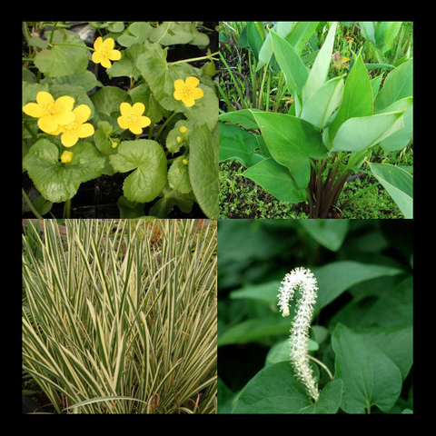 Shade Perennial Bog Plant Collection