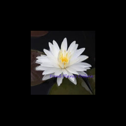 Snowflake White Hardy Water Lily