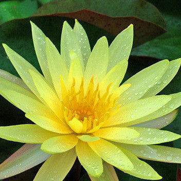 Yellow Bangpra | Yellow Hardy Waterlily