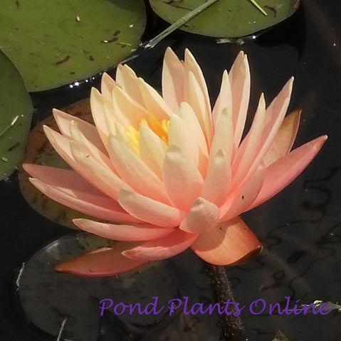 Sunny Pink | Hardy Water Lily