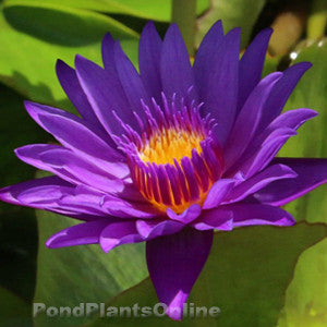 Tanzanite | Tropical Water Lily