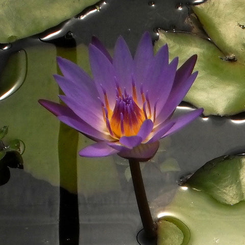 Tina | Tropical Water Lily