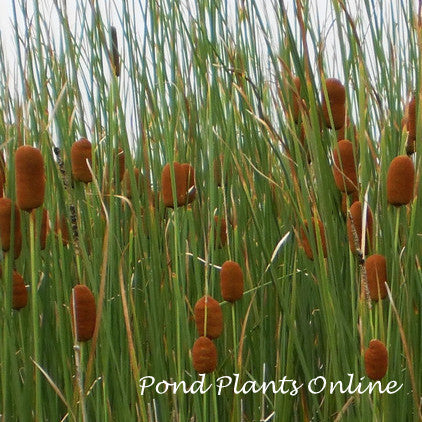 Miniature Dwarf Cattails | Typha minima