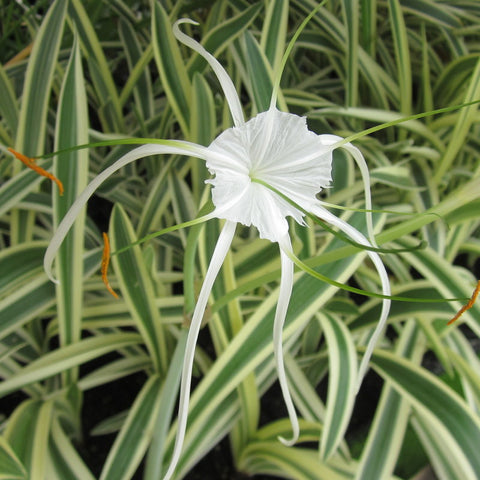 Variegated Spider Lily | Available Spring 2021