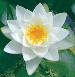 Virginalis | White Hardy WaterLily