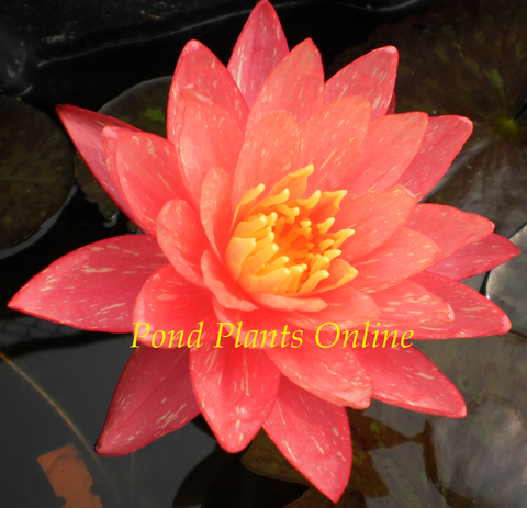 Wanvisa | Hardy Water Lily