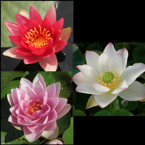 Empress Lotus & Hardy Water Lilies