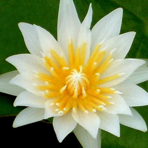 White Capensis Tropical Water Lily