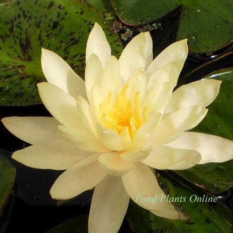 Assorted Yellow Hardy Water Lily
