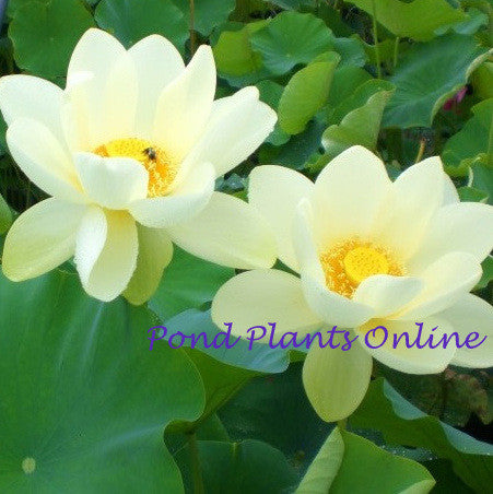 Yellow Bird Lotus