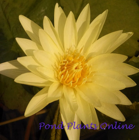 Yellow Dazzler Tropical Water Lily