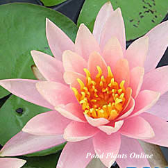 Barbara Dobbins | Hardy WaterLily