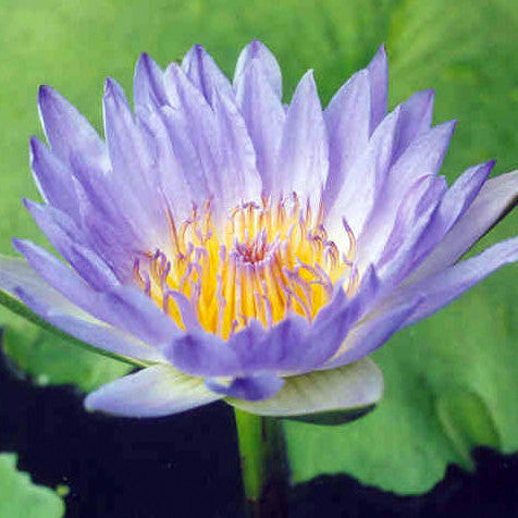 Blue Capensis | Tropical Water Lily