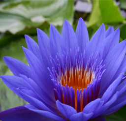 Blue Spider Water Lily