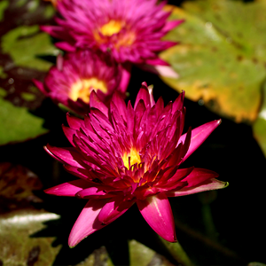 Charlie's Pride Water Lily
